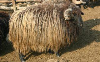 Karakachan sheep